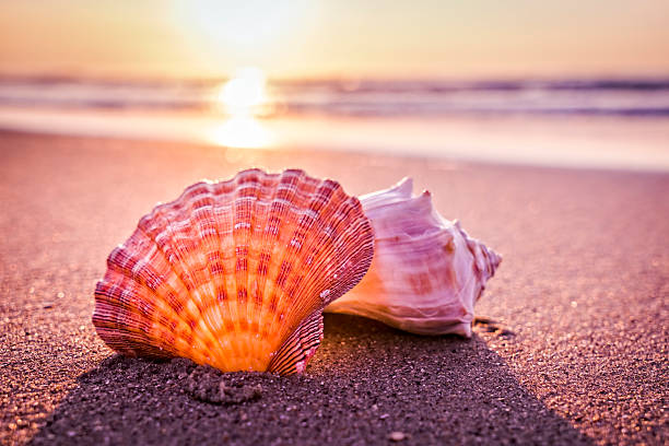 shells, beach and morning sunrise - animal shell stock pictures, royalty-free photos & images