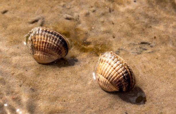 muscheln im wattenmeer - herzmuschel stock-fotos und bilder