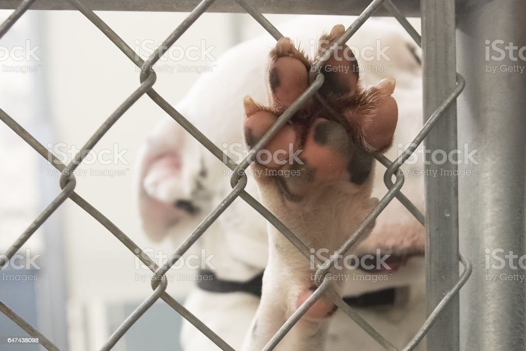Shelter Dog Paw On Chain Link Fence stock photo