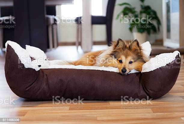 Photo of Sheltie dog in the basket