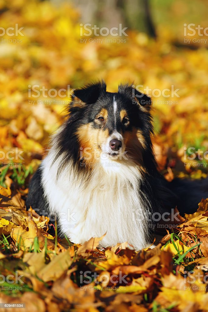 Sheltie dog lying outdoors in fallen maple leaves in autumn stock photo