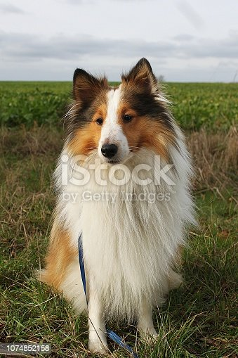 beautiful small sheltie dog is sitting on a field