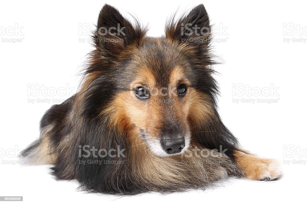 Sheltie dog portrait - Royalty-free Animal Eye Stock Photo