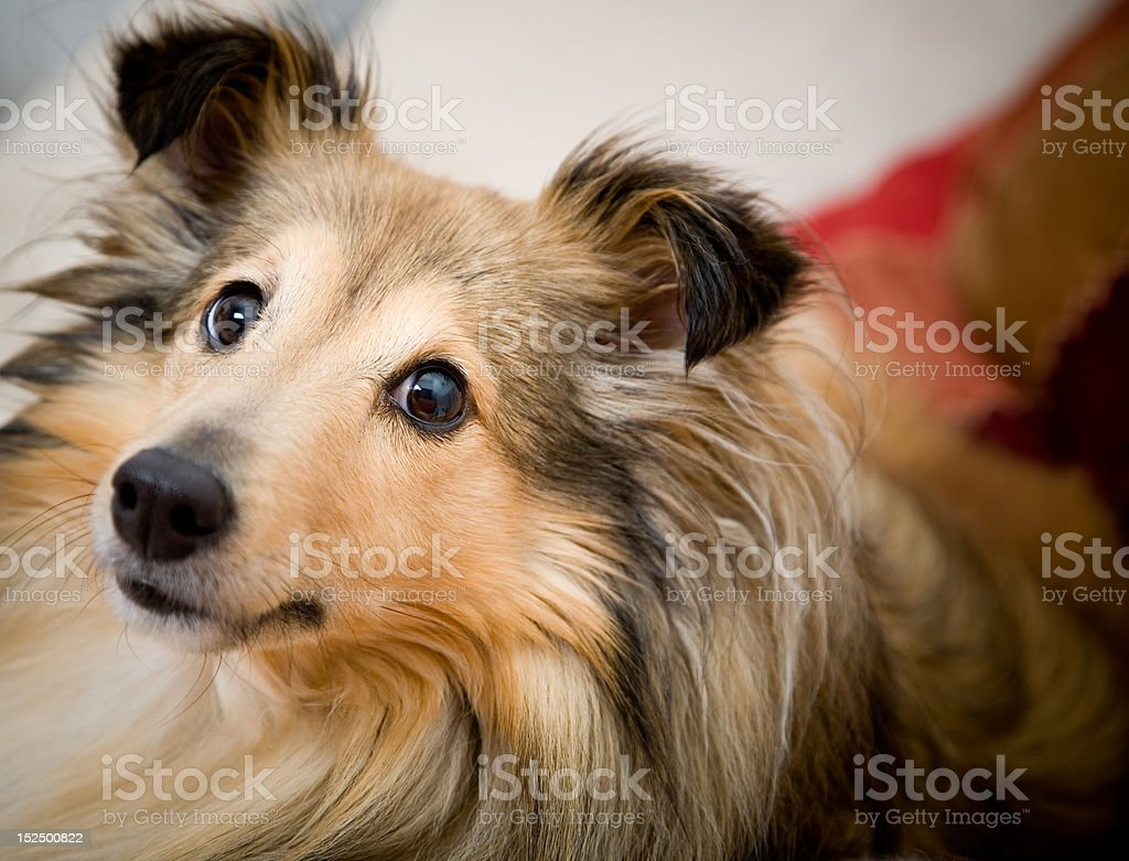 Sheltie royalty-free stock photo
