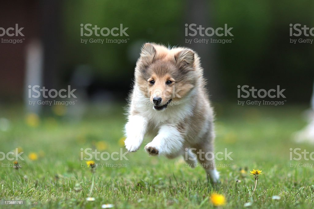 Sheltie puppy running in the park, mid run view stock photo