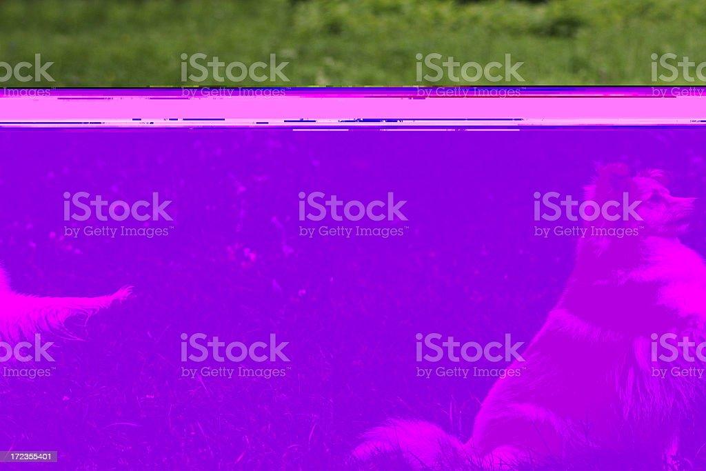 Sheltie  says hey. royalty-free stock photo