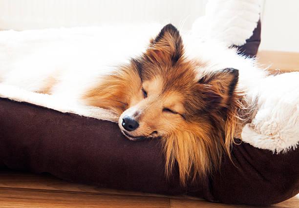 sheltie schläft - hundeplätze stock-fotos und bilder