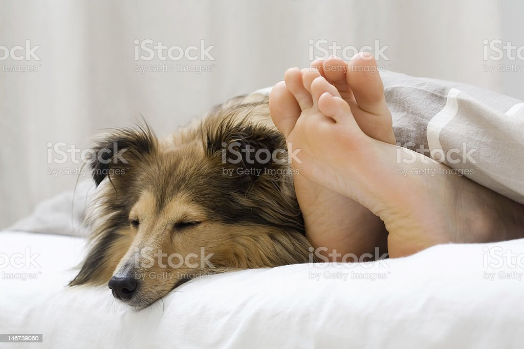 Sheltie sleeping with her owner royalty-free stock photo