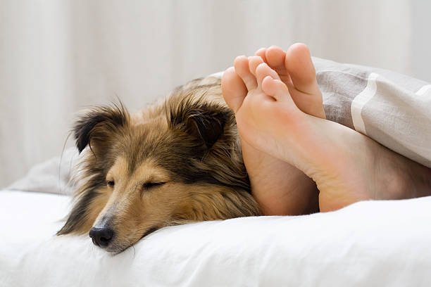 Sheltie sleeping with her owner stock photo