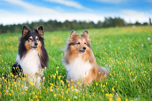 Shelties in the meadow stock photo
