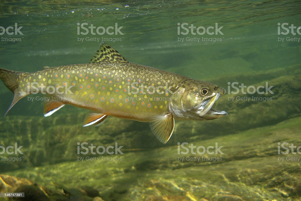 Shenandoah Brookie stock photo