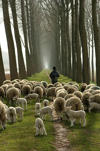 Pastore e un Gregge di pecore dopo di lui - foto stock