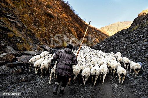 Caucasus, Georgia, Tusheti region, Shenako. A shepherd brings his flock of sheep down from the Tusheti Mountains in winter
