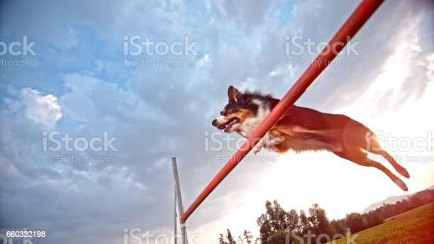Shepherd collie jumping picture id660332198?b=1&k=6&m=660332198&s=612x612&h=86 cfmqj5kneaxni7znzsuqgvdhnec xeg4nhjc0c4e=