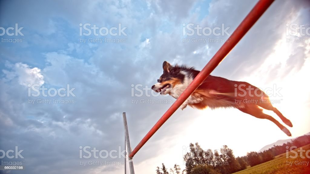 Collie Berger sauter - Photo