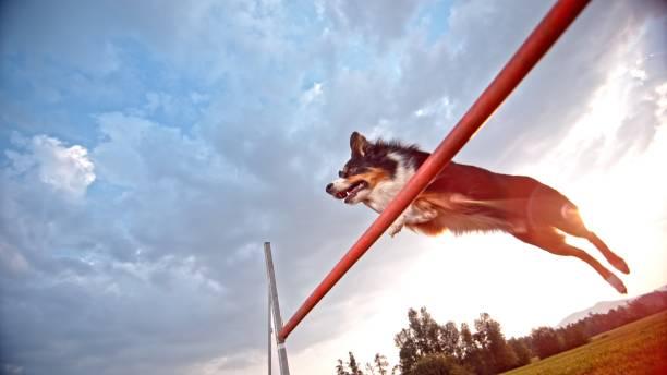 schäferhund collie springen - dressierter hund stock-fotos und bilder