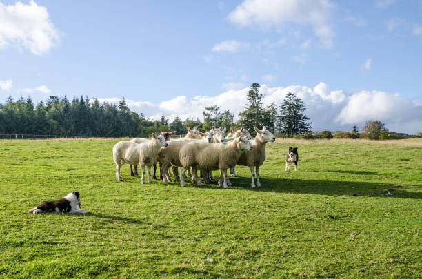 Shepherd dog gathering hord of sheeps on the plain of Ireland during day of autumn Shepherd dog gathering hord of sheeps on the plain of Ireland during day of autumn, with puppy in foreground sheepdog stock pictures, royalty-free photos & images