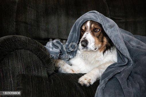 An English Shepherd dog snuggled up in a blanket