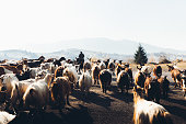 Silhouette of goat shepherd walking with his goats in Carpathian Mountains during bright sunrise