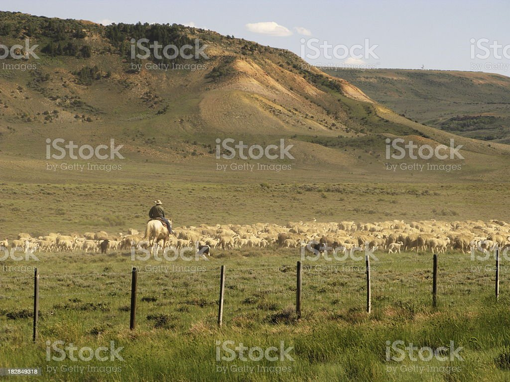 Shepherd Herding Sheep royalty-free stock photo