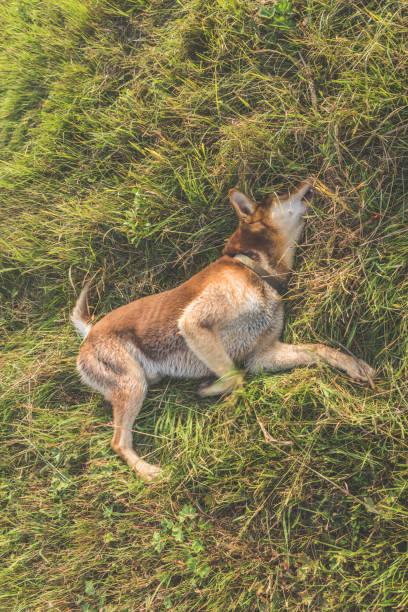 pastor а en el campo, la hierba, el perro de mentira - feliz dia del policia fotografías e imágenes de stock