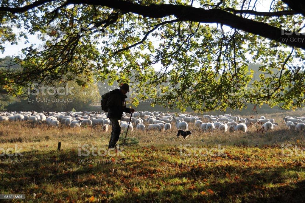 Shepherd leading his herd photo libre de droits