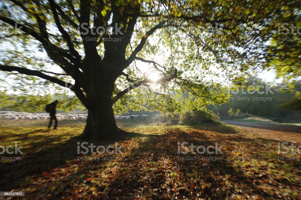 Shepherd leading his herd royalty-free stock photo