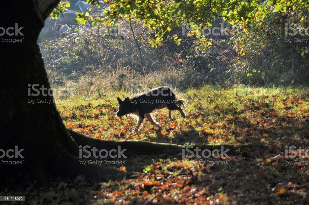 Shepherd leading his herd royalty-free stock photo