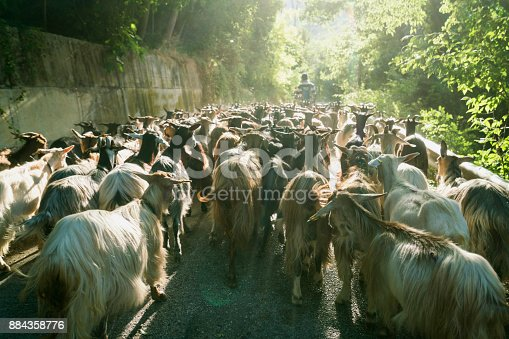 istock Shepherd leads a herd of goats down a narrow road on a summer morning during the annual migration transumanza through the mountains of central Italy in Abruzzo, Italy, Europe 884358776