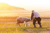 istock Shepherd near the sheep with new born lambs 1131195314