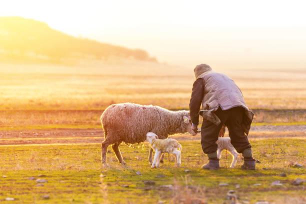 Shepherd near the sheep with new born lambs stock photo
