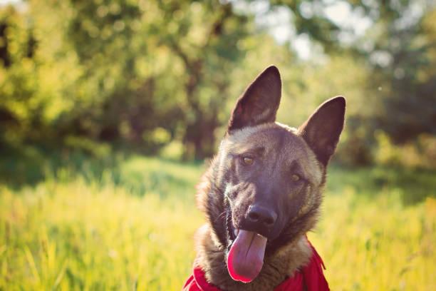 Shepherd on a walk stock photo