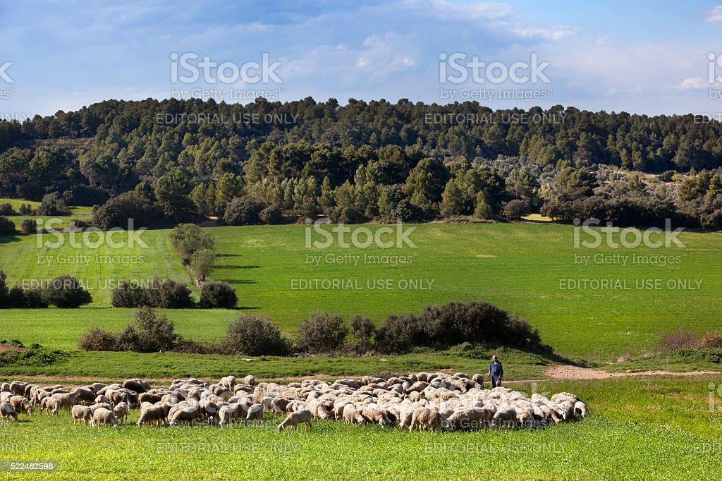shepherd stock photo