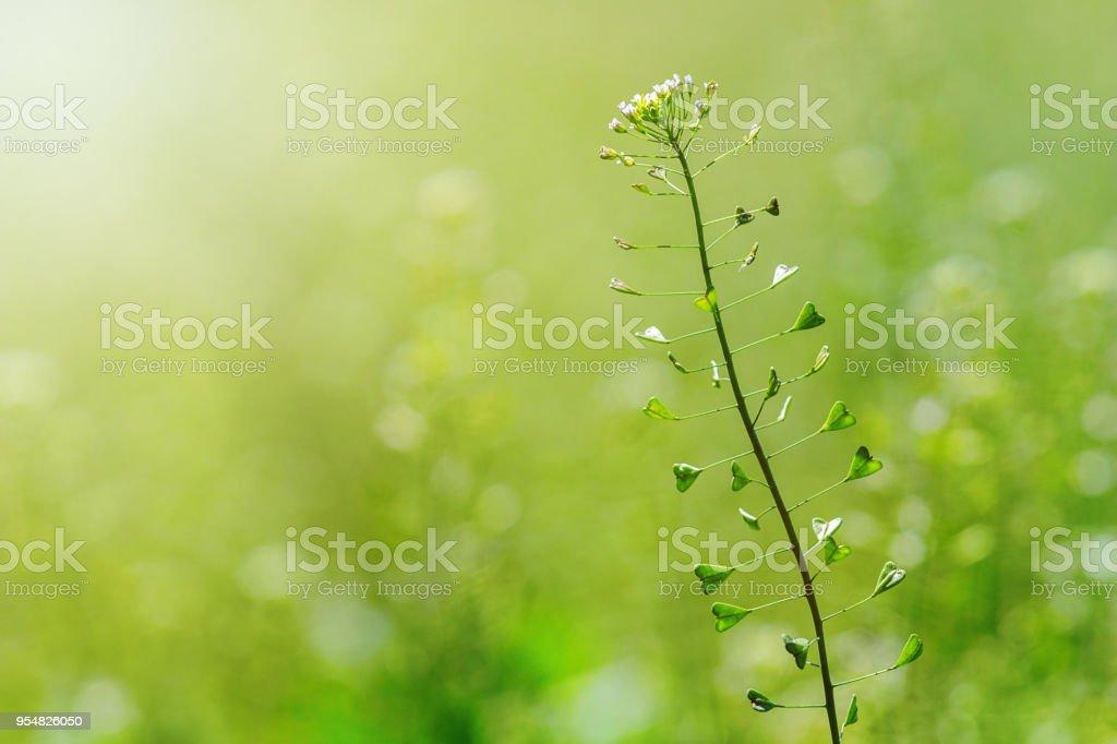 Hirte Geldbörse, Capsella Bursa Pastoris, Blume des Schäfers Geldbeutel. – Foto