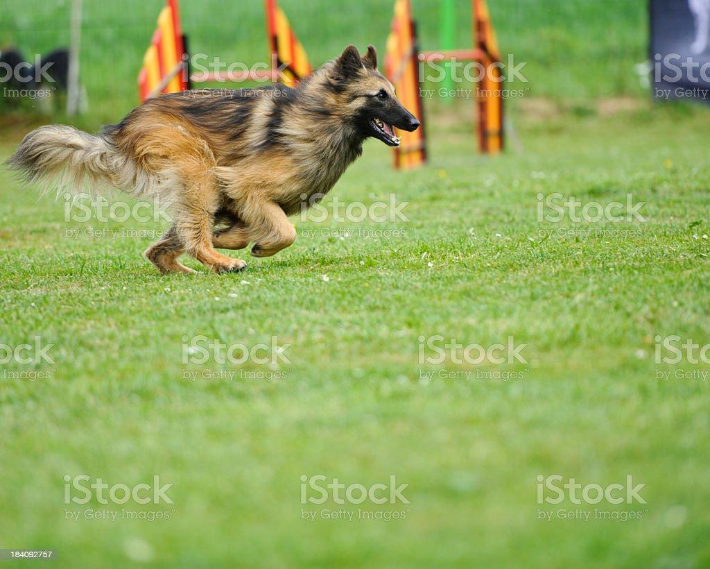 shepherd running in agility course stock photo