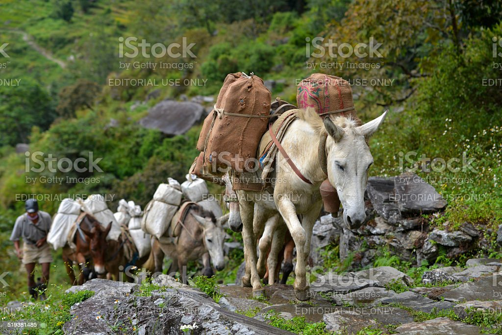 Shepherd with a caravan of donkeys carrying heavy supplies stock photo
