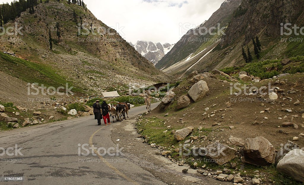 Shepherd with cows on road royalty-free stock photo