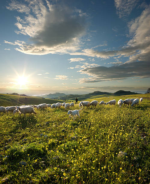 shepherd with dog and sheep grazing flowered field at sunrise  flock of sheep stock pictures, royalty-free photos & images