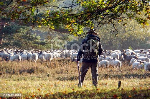 Grazing flack of sheep with herder in the area cold Brunssummerheide