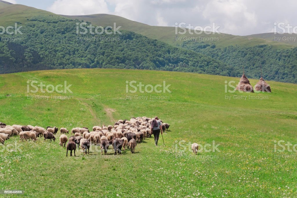 Shepherd with his sheep on pasture under great green hilly range of Carpathian mountains. stock photo