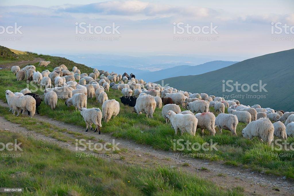 Shepherd with his sheep stock photo