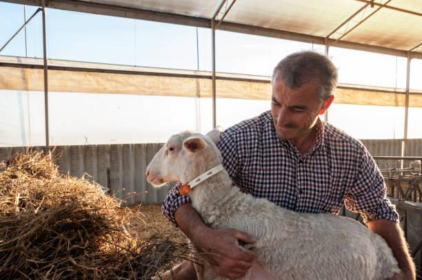 shepherd with lamb at the farm - allevatore foto e immagini stock