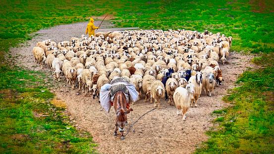 shepherd with sheep goat flock and donkey