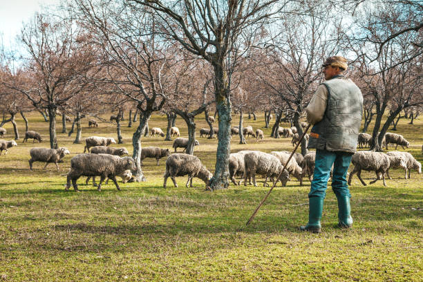 Shepherd with sheep in the pasture stock photo