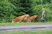 Schodnica, Ukraine - July 09, 2014: Shepherd woman grazes cows