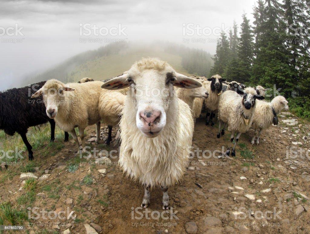 Shepherds and sheep Carpathians stock photo