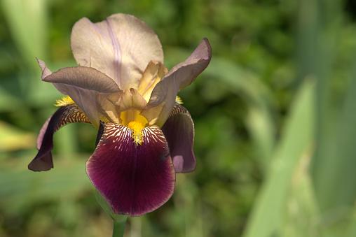 Sorbet Type Iris Bloem Stockfoto en meer beelden van Beschrijvende kleur