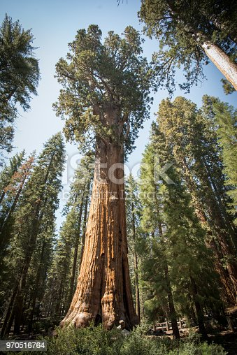 sentinel tree, sequoia forest national park