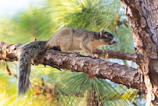 A squirrel in a pine tree in Ocala National Forest.