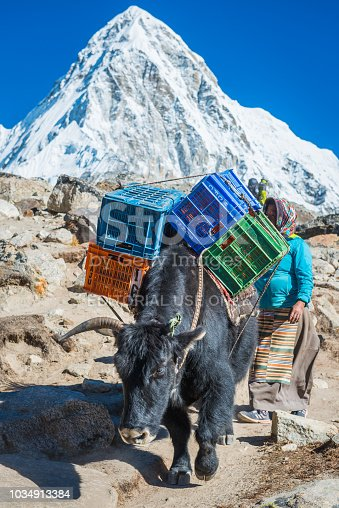 Sherpa woman wearing traditional pangden striped apron driving a yak dzo along a high altitude mountain trail below the iconic pyramid peak of Pumori 7161m deep in the Everest National Park of the Himalayan mountains, Nepal.